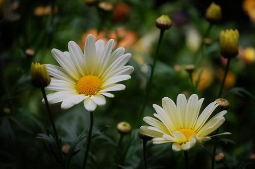 157B:365雏菊