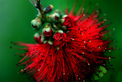 Bottlebrush Flower (Chris McLoughlin) Tags: uk flowers red england stilllife flower macro green nature closeup darrington westyorkshire pontefract sonyalpha300 bokehfocus