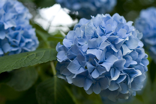 hydrangea close up2