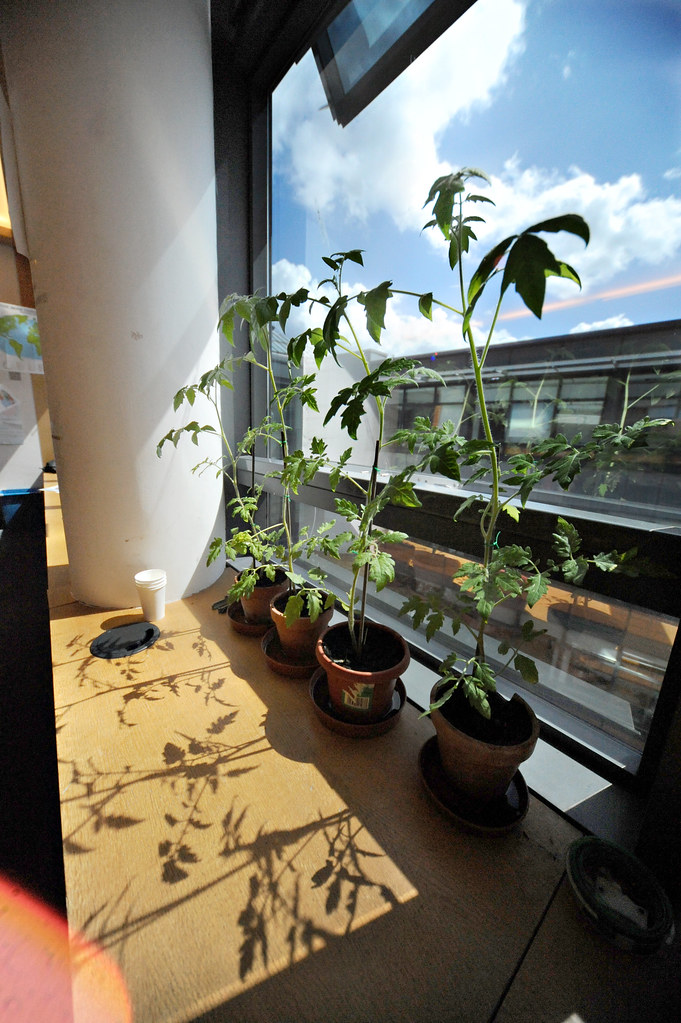 Happy Tomato plants - 365
