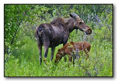 Mama Moose & Calf (Roger Lynn) Tags: montana moose calf grazing westfork bitterrootriver