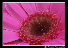 Pink Gerbera (chetty3) Tags: pink flowers macro nature canon petals gerbera sigma105mmf28 eos40d naturethroughthelens wonderfulworldofflowers theperfectpinkdiamond