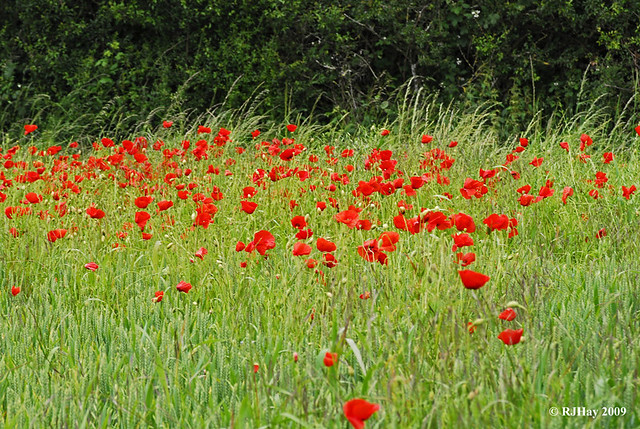 Poppies by the Path