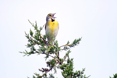 Digiscoped Dickcissel