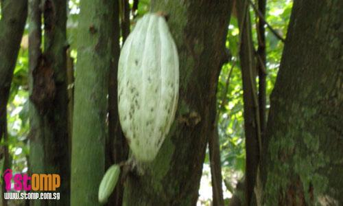 Ex-squatter settlement now a forest with rare cacao trees