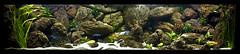 Mi acuario Malawi - Mbunas (Ciclidfan) Tags: fish pez aquarium tank peces malawi mbuna demasoni mbunas