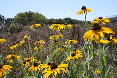 Black-eyed Susans (joeksampson) Tags: flowers alameda blackeyedsusan