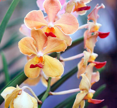 color is the sound of light (xeno(x)) Tags: macro nature canon garden asia orchids explore 2009 xeno bej overtheexcellence 5d2