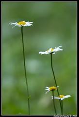 Daisy Family (♪♫ Mago G ♪♫) Tags: macro digital canon eos rebel flora daisy margherita xsi eos450d digitalrebelxsi gottardiclaudio gcphotoblogblogspotcom