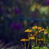 (ohdearbetty) Tags: blur green yellow garden losangeles stem nikon purple bokeh petal explore getty fowers bluestreak 8514d karmapotd karmapotw d700 ~betty~ whatmoreflowers