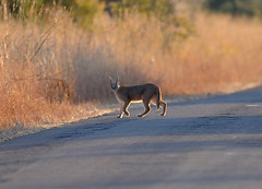 Caracal, Pilanesberg National Park (Margie.V) Tags: wildlife predator caracal carnivore pilanesbergnationalpark feliscaracal rooikat