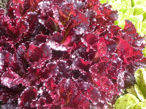 Lettuce -  Bijou & Freckles