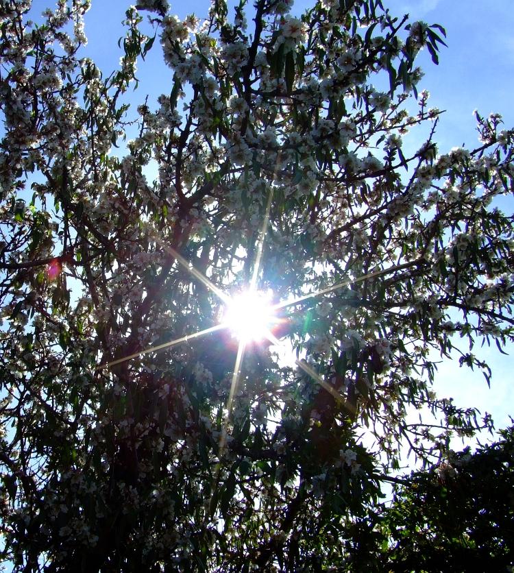 almond blossom 04