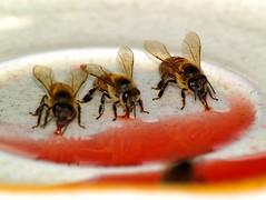 Bees Lapping Nectar (joecrowaz) Tags: red arizona nature tongue feeding bees nectar care licking beestongue
