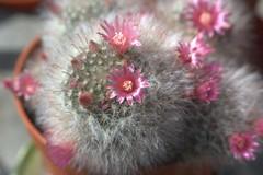 Cactus 2 (davidneal) Tags: vivitar vivitar90230zoom