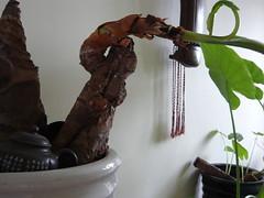 guqin and Giant Taro (Alocasia Macrorrhiza) ??????