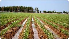 - Sorghum (Reza-ir) Tags: life village iran husbandry khorasan   agronomy