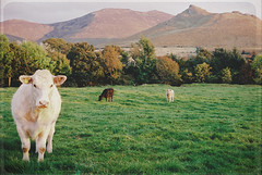 valerie (jessthespringer) Tags: ireland mountains texture film 35mm cows merci olympus om1 valerie amywinehouse thezutons fujisuperia400 thelittledoglaughed jessthespringer bylesbrumes ilikeherversionwaybetter especiallytheacousticversion