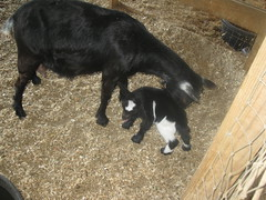 Mother and week old baby goat