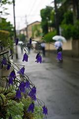 Rainy Road With Blue Bells (aeschylus18917) Tags: flowers flower nature rain japan umbrella season 50mm nikon waterdrop seasons bokeh d f14 raindrops  nikkor  bluebell raindrop rainyseason waterdroplet bellflower nikkor50mmf14d 50mmf14d  tsuyu  50mm14d d700  baiu danielruyle aeschylus18917 danruyle druyle