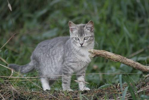 Curious Silver Tabby