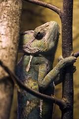 - Chamaeleon - (teliko82) Tags: reptile chameleon 2009 terrarium reptil chamäleon oberhof veiledchameleon jemenchamäleon exotarium chamaeleocalyptratus teliko exotariumoberhof