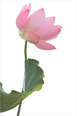 Lotus Flower - IMG_5055 (Bahman Farzad) Tags: flower macro yoga peace lotus relaxing peaceful meditation therapy lotusflower lotuspetal lotuspetals lotusflowerpetals lotusflowerpetal