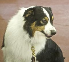 dog domestic lupus animalia airedale mammalia canis familiaris carnivora chordata canidae