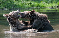 [フリー画像] [動物写真] [哺乳類] [熊/クマ] [格闘/決闘]       [フリー素材]