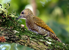 Pica-pauzinho-ano - Little Woodpecker (Veniliornis passerinus) (claudio.marcio2) Tags: bird nature wildlife natureza pssaro aves inspire birdwatching breathtaking oiseaux wonderfulnature supershot flickrnature wingedwonders natureplus mywinners shieldofexcellence avianphotography anawesomeshot impressedbeauty nationalgeographicareyougoodenough photosandcalendar peacefulnature citritgroup prettynaturephotos theunforgettablepictures photostosmileabout eperkeaward brilliant~eye~jewels concordians goldsealofquality theworldsbestnaturewildlifeandmacrophotography betterthangood everydayissunday theperfectphotographer natureislovely goldstaraward photossansfrontires spiritofphotography atravsdaminhalentethroughmylens thebestnaturephotosfromaroundtheworld rubyphotographer damniwishidtakenthat allthosebirds worldnaturewildlifecloseup photographersgonewild enarmonaconlanaturaleza vosplusbellesphotos thewonderfulworldofbirds naturegreenstar ~newenvyofflickr~