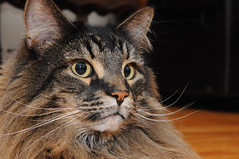 Felin 2 (Dany Blais) Tags: cat chat yeux moustache gato maincoon felin poils animaldomestique