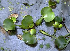 Common Water Hyacinth (Eichhornia crassipes) ......... CAMALOTE  INFLADO ~ Original = (3302 x 2410) (turdusprosopis) Tags: eichhorniacrassipes eichhornia pontederiaceae camalotes lampazo commonwaterlily commonwaterhyacinth camalotal aguapei floraargentina liriodelagua aguapey rainhadoslagos jacintodgua plantasargentinas plantasdeargentina plantasautctonasargentinas plantasautctonasdelaargentina floraautctonaargentina floraautctonadeargentina plantasnativasargentinas plantasnativasdeargentina plantasnativasdelaargentina floradelaargentina floradeargentina plantasautctonasdeargentina floraautctonadelaargentina floranativabrasileira floranativadobrasil floradobrasil argentineindigenousplants argentineflora pontedericeas taruya eichhornias mururdecanudo murmur camaloteinflado jacintodelaguacomn camalotecomn camalotepreado aguappreado violetadelagua aguappur