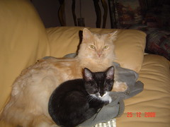 PACHA  ET SON FRERE ADOPTIF (picolojojo) Tags: cats cat chats chat catherine bb tigrou amonra