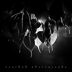 Hide and Seek (ayashok photography) Tags: bw leaves blackwhite nikon glow stark somnathpur lightplay nikonstunninggallery nikond40 ayashok nikor55200mm ayspecial infraredbwtreatment