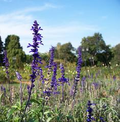 Salvia (katiemetz) Tags: sky flower southamerica argentina garden buenosaires purple flor cielo salvia palermo rosedal jardn morada