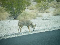 Donde el coyote no hay aduana