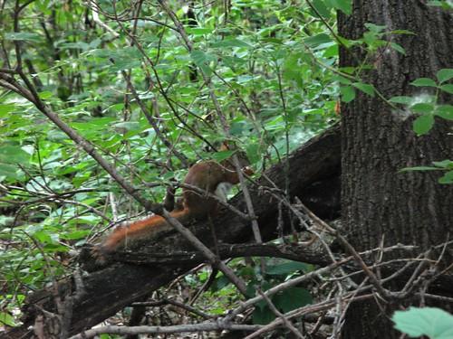 061409_wood_lake_red_squirrel