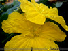 Yellow on yellow... (~sharmila~) Tags: flower yellow closeup mygarden vegetableflower spongegourd