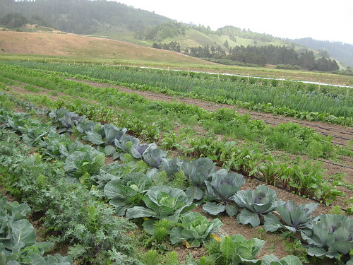 Fat Cabbage Farm in mid June 2009.