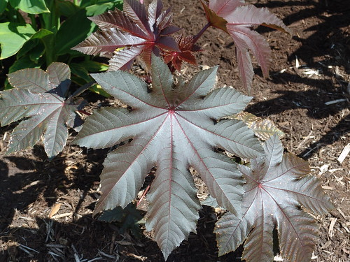castor bean leaves, close-up