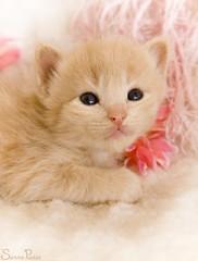 20080805_7284b (Fantasyfan.) Tags: pink pet cute animal topv111 tag3 taggedout furry topv555 topv333 kitten soft tag2 tag1 fluffy appealing fantasyfanin pixeli highqualityanimals siirretty
