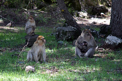 Macaque Family (MykReeve) Tags: grass forest monkey morocco macaque barbaryape barbarymacaque cedarforest geo:lat=33417401 geo:lon=5186577