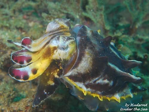 火焰花枝 - Flamboyant Cuttlefish4)