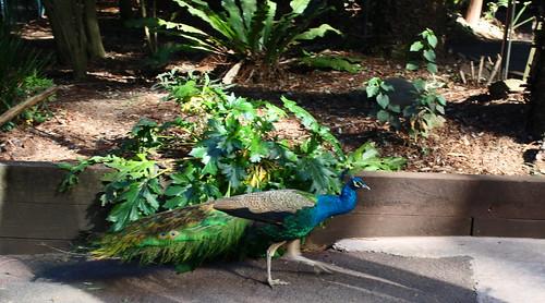 Peacock at Koala Park