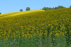 [フリー画像] [花/フラワー] [向日葵/ヒマワリ] [花畑] [イタリア風景]       [フリー素材]