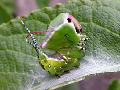 Cerura (Cerura) vinula (Linnaeus 1758) - Puss Moth Caterpillar (Peter M Greenwood) Tags: moth caterpillar puss picnik ceruravinula cerura vinula pussmothcaterpillar