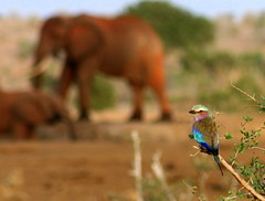 Lilac Breasted Roller... (crazykanga) Tags: elephant pin grandmother kenya safari hero winner thumbsup satao tsavoeast lilacbreastedroller bigmomma coraciascaudata blueribbonwinner babymomma mywinners tuw091 herowinner ultraherowinner thepinnaclehof tphofweek3 motmsept2009 4medal pinjune