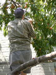 Peach Picking - Lou on a ladder