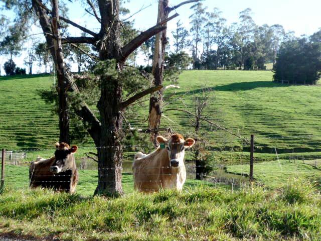 Gippsland cows