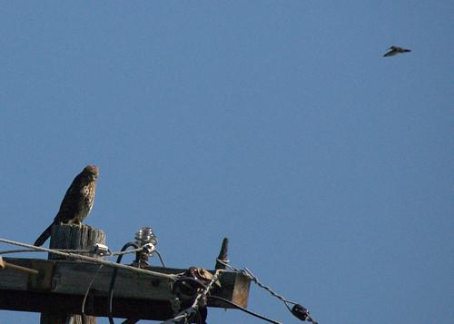 humming hawk2